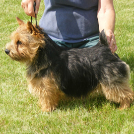 Norfolk and Norwich Terriers at Rouletta Terriers